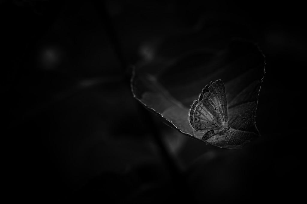 Low key black and white macro photography of a Small Blue butterfly resting on a hydrangea leaf