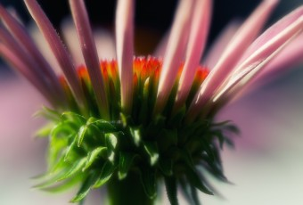 Macro photography of Echinacea—Purple Coneflower