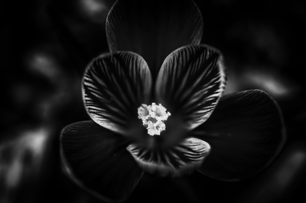 A low key black and white photograph of an early spring three petal flower. Stark contrast and a center focus on the pistils mark the picture.