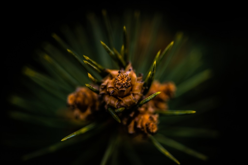A low key macro photograph of the end tip of a pine branch. Tucked away within the pine needles, small brown nodes of new growth mark the focal point of this image.