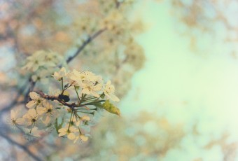 A high key photograph featuring a flowering callery pear tree in Spring. Warm pastel colors and a loose film grain give this photograph a soft whimsical feel.