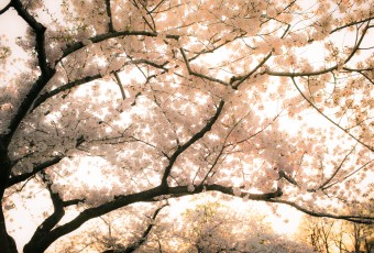 High key photograph of a Washington DC cherry blossom. The fresh blossoms were bathing in a rich golden light just before the sun began to set over the Tidal Basin.