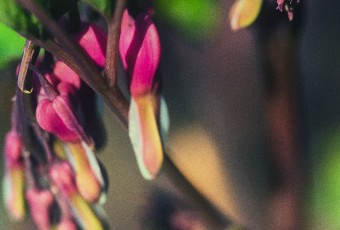 A macro photograph of freshly blooming pink bleeding hearts. Still small and bunched together, this photograph is processed with a fine art film grain.