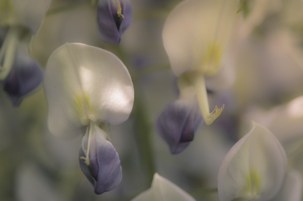 A macro photograph of a several wisteria blossoms. The diffuse processing lends a soft dreamlike mood to the picture.
