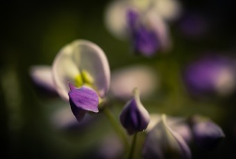 A macro photograph of a freshly bloomed wisteria flowering plant. The shallow depth of field and deep vignetting evoke a moody feel among the flowers.