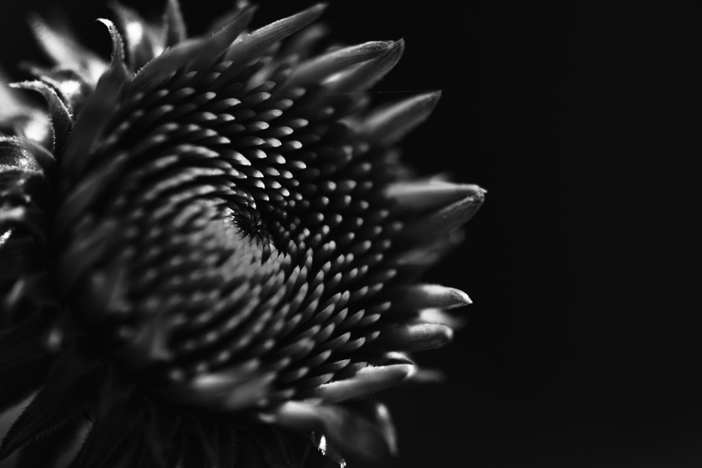 This time from a side perspective, a low key, fine art, black and white macro photograph of echinacea (purple coneflower) before its petals extend and progresses to bloom.