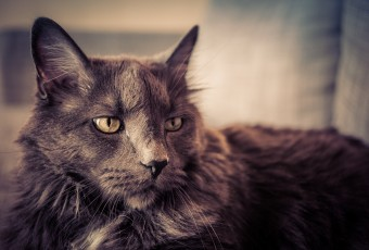 A cross processed photograph of a mature male Maine Coon with a beautiful grey coat and white markings under his chin.