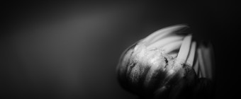 A black and white low key macro photograph of a single daisy blossom readying to bloom. Shallow depth of field and solemn tones lend mood to the photograph.