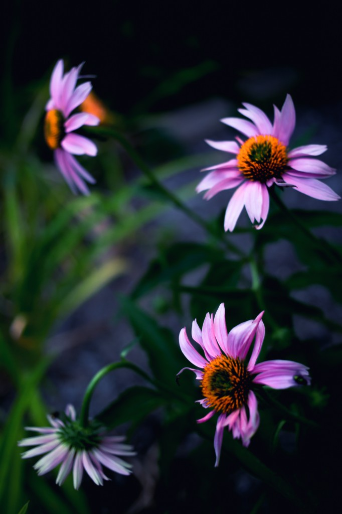 Four purple coneflowers (echinacea) in full bloom are framed in this solemn cross processed shallow depth of field photograph. With a bud in each quadrant one flower has succumbed.