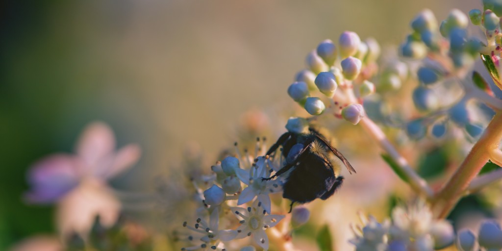 In this macro photograph a carpenter bee is captured from behind as it pollinates a quick fire hydrangea, basking in golden hour light.