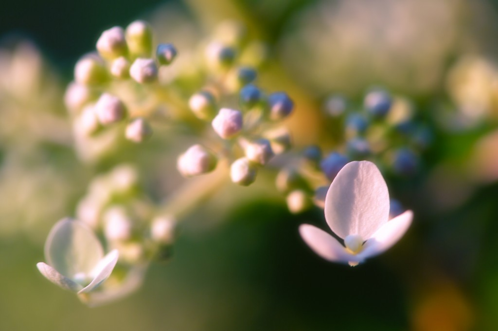 A late afternoon macro photograph of a newly blooming quick fire hydrangea. The fresh tender white buds are just set to pop with a soft focus settling around the two open flowers.