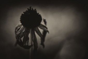 A brooding noir macro photograph of a wilting Black-eyed Susan yellow daisy. Finished with a low key sepia treatment and grain (added noise), the picture takes on ominous tones.