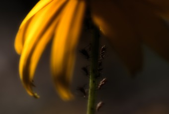In this low key macro photograph of a Black-eyed Susan (yellow daisy), miniature insects are working in unison under the cover of the illuminated yellow flower petals and rich bokeh fades out the background.