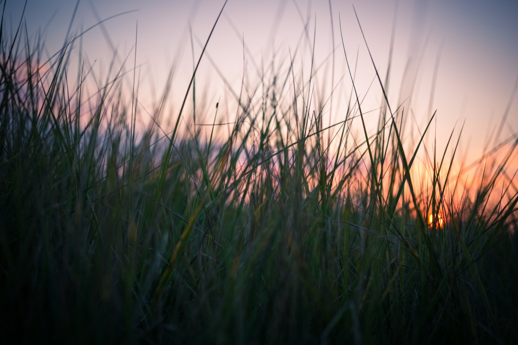 Taken at sunset this marsh grass photograph is from a closeup perspective with a shallow depth of field.