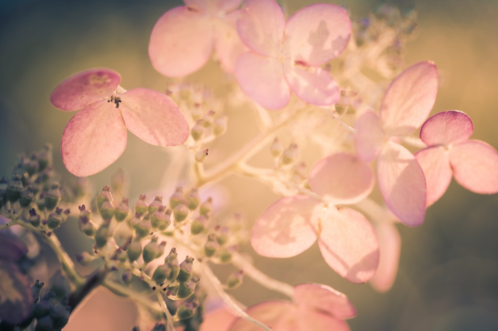 A cross processed macro photograph of a late season quick fire hydrangea, its white petals fading to pinks and purples.