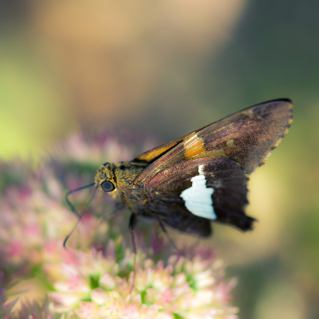 A shallow depth of field macro photograph of a Silver-Spotted Skipper dining on sedum nectar.