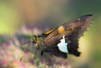 Just a Silver-Spotted Skipper snacking on some sedum