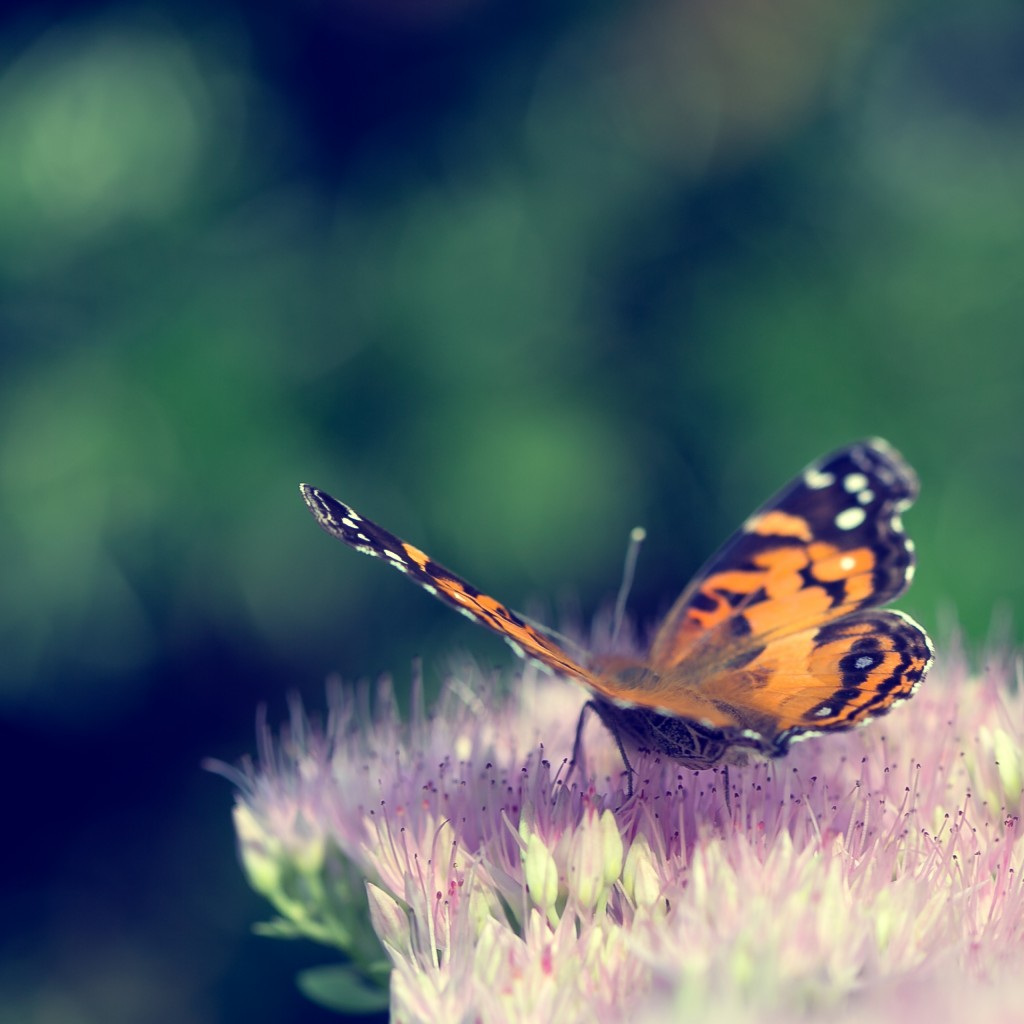 This square format photograph features a cross processed treatment of a painted lady butterfly at three quarters perspective and from the rear. The buttery smooth bokeh and shallow depth of field draws attention to the butterfly as it rests on a freshly bloomed sedum.