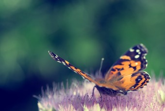 This square format photograph features a cross processed treatment of a common butterfly at three quarters perspective and from the rear. The buttery smooth bokeh and shallow depth of field draws attention to the butterfly as it rests on a freshly bloomed sedum.