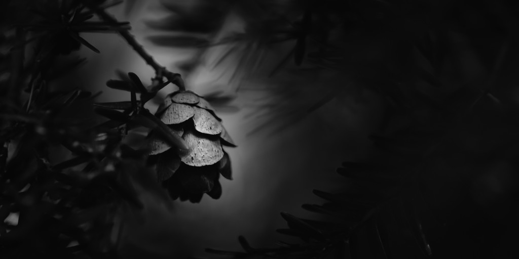A low key fine art black and white photograph of a small pine cone tucked away between pine tree branches. Sharp contrast and shallow depth of field add to the mood.