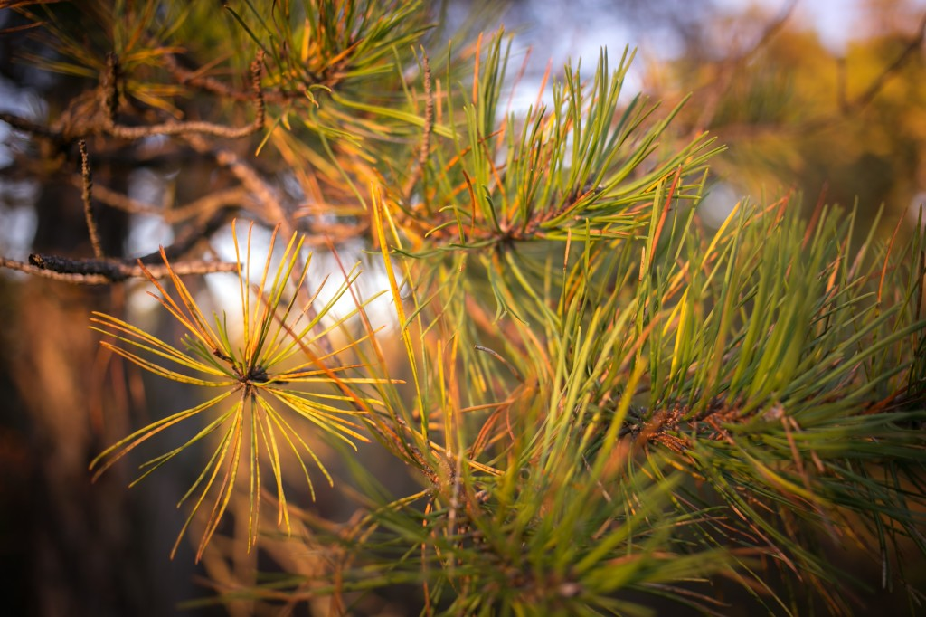 This golden hour photograph features a pine tree branch and its needles in a closeup arrangement with a shallow depth of field illuminated by rich morning light.