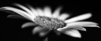 A low key black and white macro photograph of a late season daisy in Autumn.