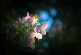 A low key photograph of a late season pastel colored quick fire hydrangea backdropped by dark tones and smooth bokeh