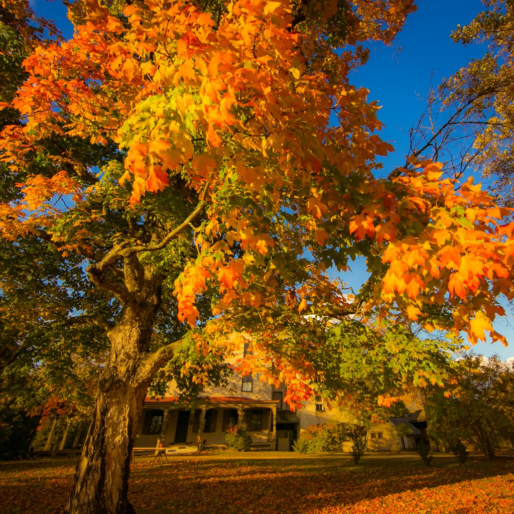 A square format golden hour photograph featuring a maple tree ablaze in rich orange color, highlighting the best of the Batsto Village mansion in Fall.