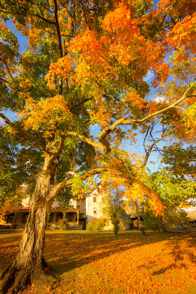 A portrait orientation photograph of an old gnarled maple tree regaled in orange leaves basking in golden hour light, framing the Batsto Village mansion in the background.
