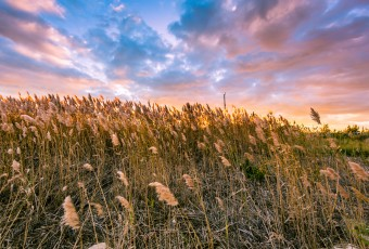 Windswept marsh grass is photographed with late afternoon sun backlighting pastel clouds of blue, pink and yellow bringing the seeds to life with golden color.