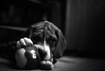 An adorable low key black and white portrait photograph of a Beagle-British Bulldog puppy mix named Mack, with a red 'Angry Birds' squeak toy between his paws.