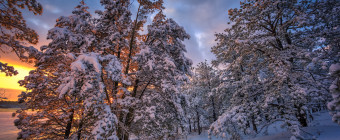 An HDR photograph of winter in the Pinelands: fresh fallen snow, numerous pitch pines, footprints and lively golden light make the scene