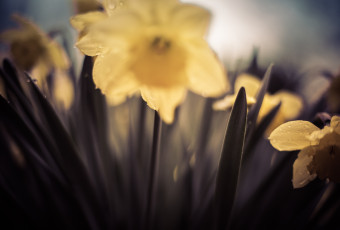 50mm shallow depth of field photograph of rain soaked daffodils