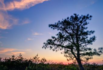 Portrait orientation HDR photograph of NJ Pinelands pygmy pine trees at blue hour