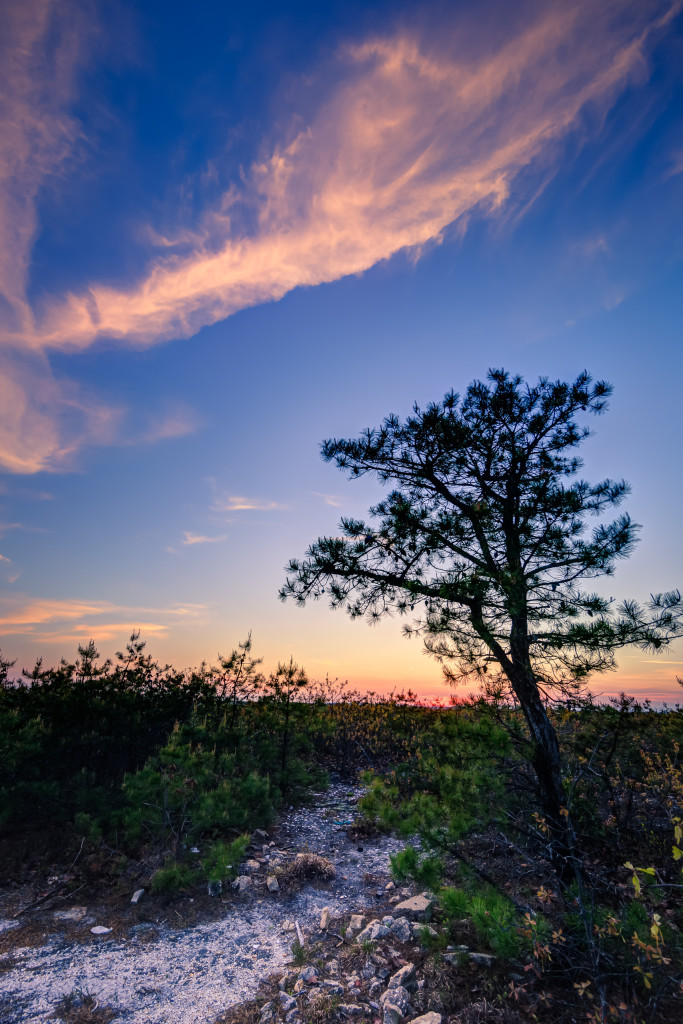 Portrait orientation HDR photograph of NJ Pinelands pygmy pine trees at blue hour