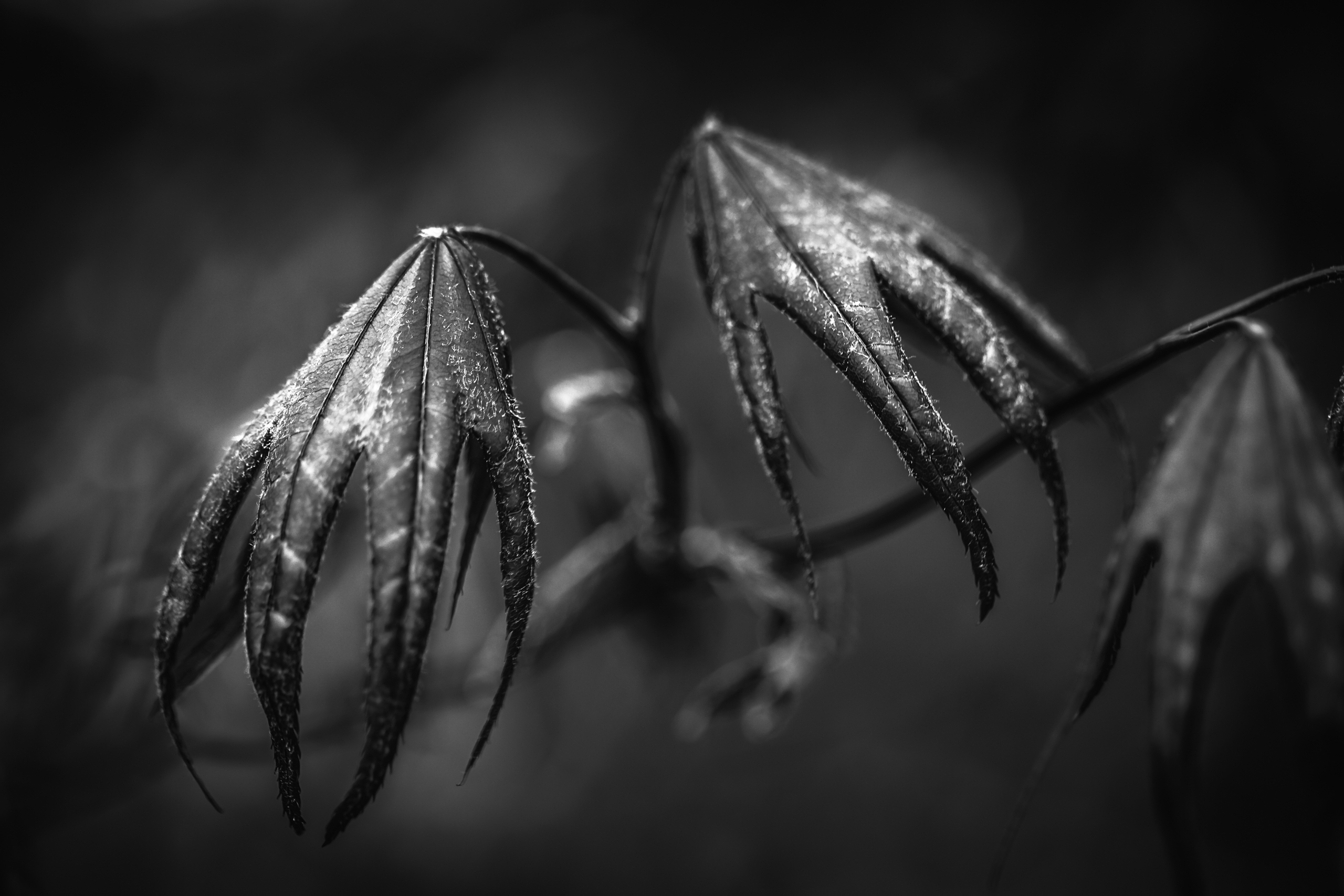 Black and white abstract macro photograph of a japanese maple that looks like a flying dragon