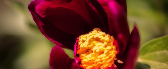 Shallow depth of field macro photograph of a purple peony