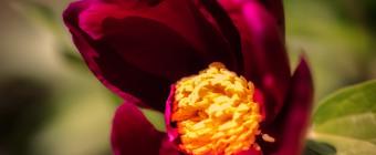 Shallow depth of field macro photograph of a purple peony