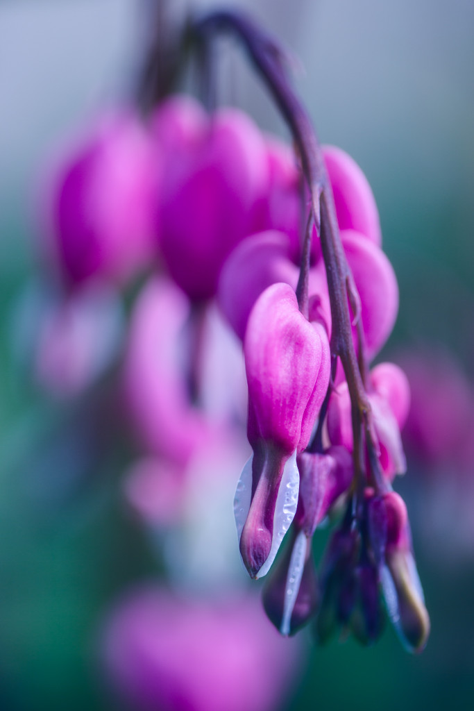 Cross processed macro photograph of bleeding heart flowers