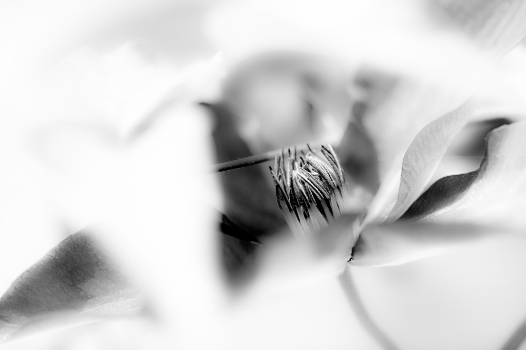 High key black and white macro photograph of a clematis flower