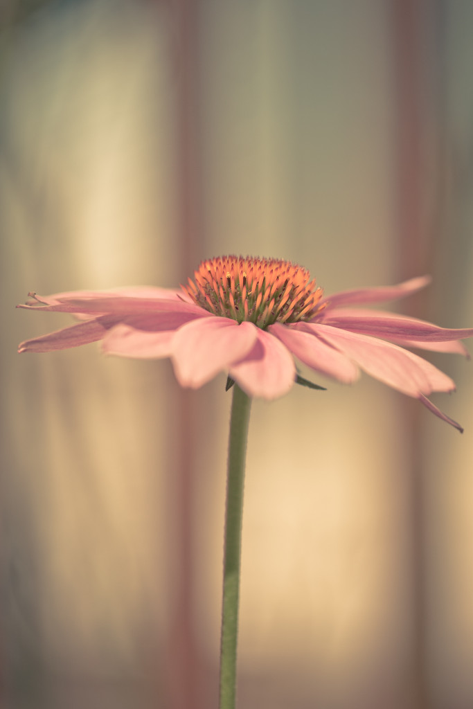 Vertical orientated shallow depth of field purple coneflower macro