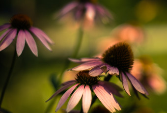 Square format photograph of cross processed purple coneflowers with rich bokeh and shallow depth of field