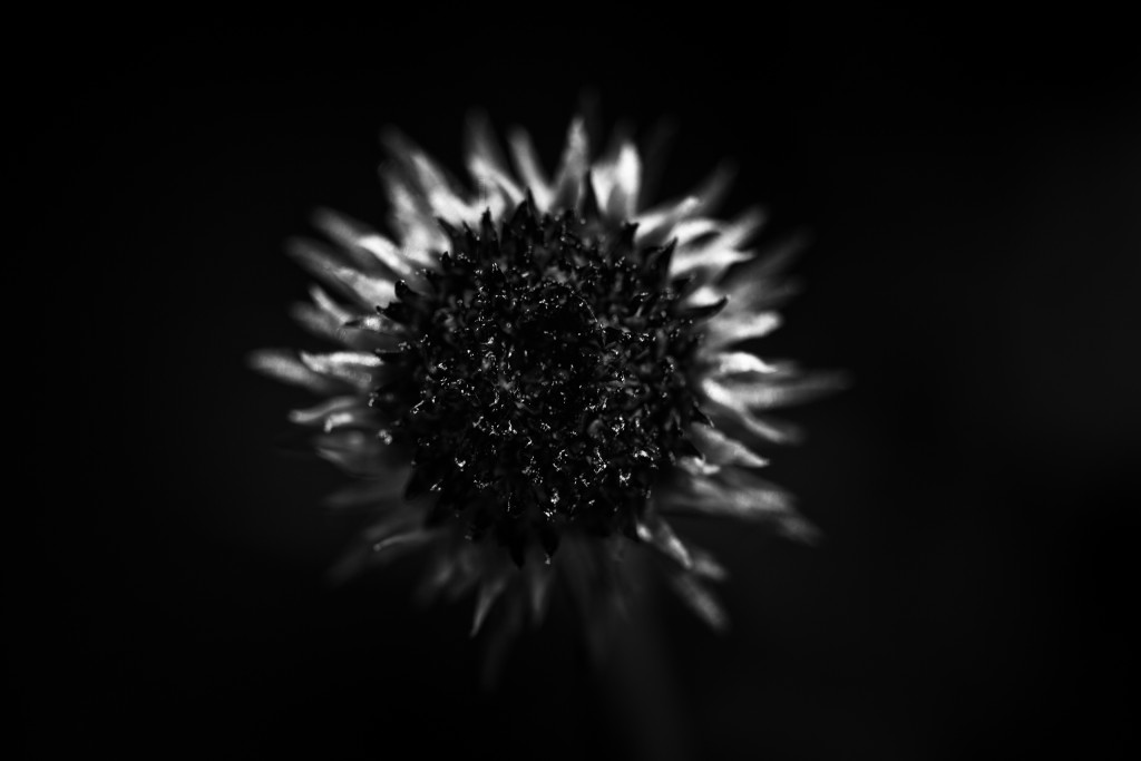 Low key abstract black and white macro photograph of a purple coneflower