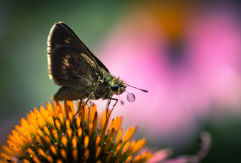 Macro photograph of a silver-spotted skipper butterfly atop a purple coneflower with a coiled proboscis
