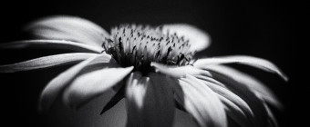 100mm black and white macro photograph of a purple coneflower