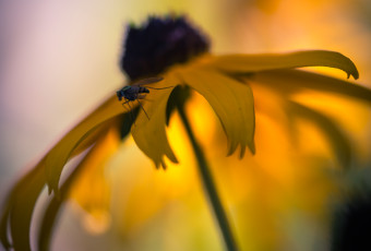 Square format macro photograph of a Black-eyed Susan and a fly
