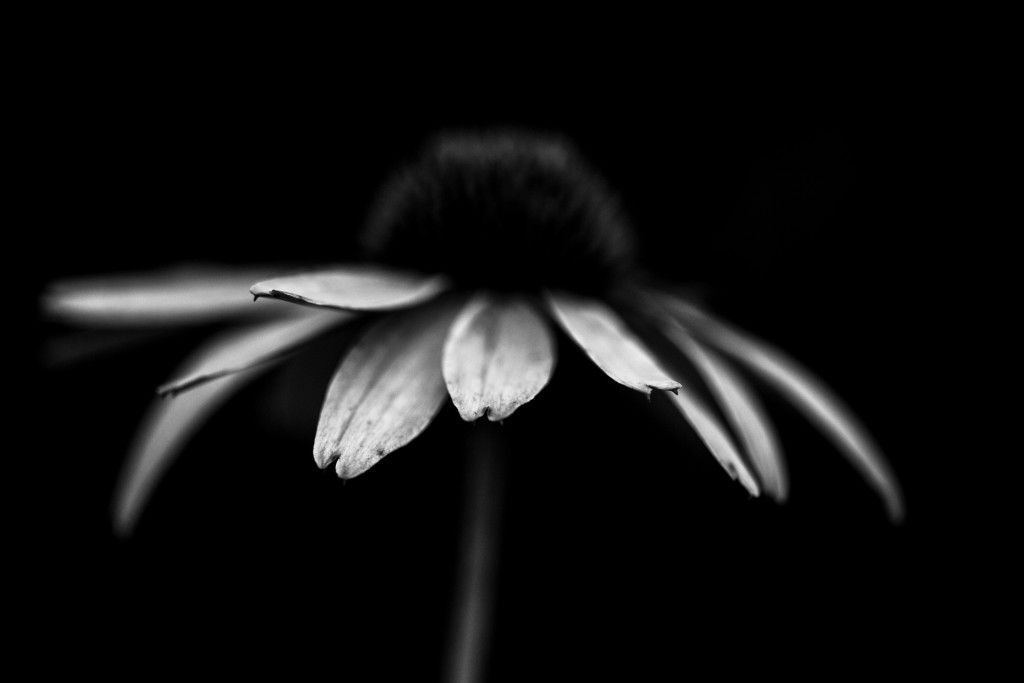 Low key black and white macro photograph of a purple coneflower