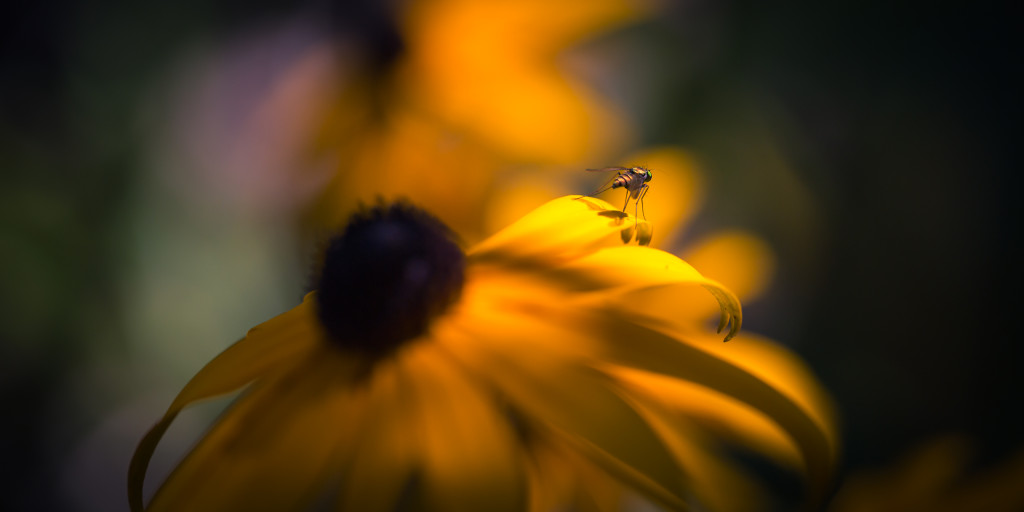 Low key macro photograph of a fly atop a Black-eyed Susan