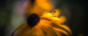 Low key macro photograph of a fly atop a Black-eyed Susan