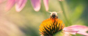 Macro photograph of a bumblebee collecting pollen atop a purple coneflower